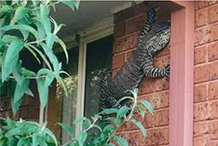 1.5米长罕见巨蜥爬上民居外墙 澳洲老人淡定抓拍