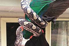 澳大利亚居民抓拍巨蟒活吞鹦鹉惊人照片