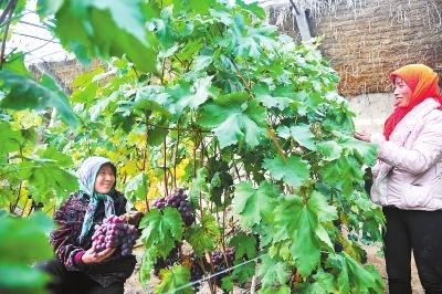 兰州永登县调整农业产业结构开发红提葡萄产业