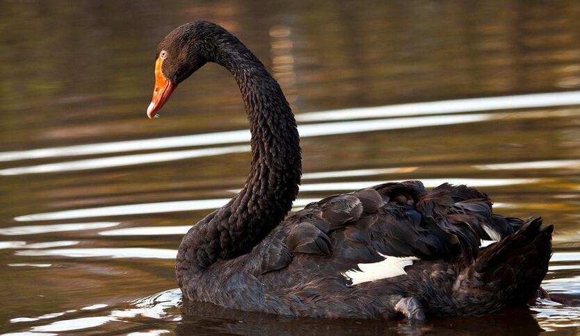 大批天鹅到甘肃高台黑河湿地越冬画面壮观艳丽