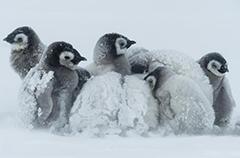 企鹅也怕冷 暴风雪中抱团取暖显萌态