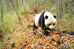 甘肃大熊猫 频频下山来(组图)
