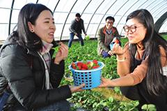兰州新区首届草莓采摘节1月26日举行