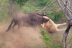 南非一角马狮口逃生顽强不屈惊呆游客