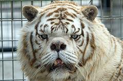 世界最丑的老虎:人类过于干涉自然的结晶