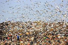 大连数万只海鸥垃圾场觅食
