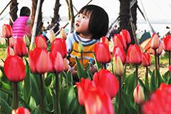 荷兰郁金香绽放南昌 吸引游客踏青赏花