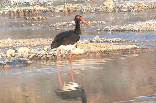 甘肃平凉泾河湿地发现国家一级保护动物黑鹳
