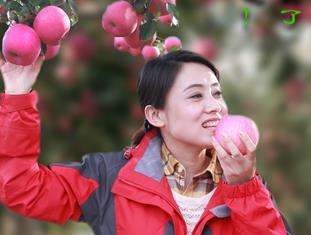 【绚丽甘肃】静宁苹果熟了 快来采摘吧