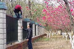广西桂林游人爬监狱围墙进小区看桃花