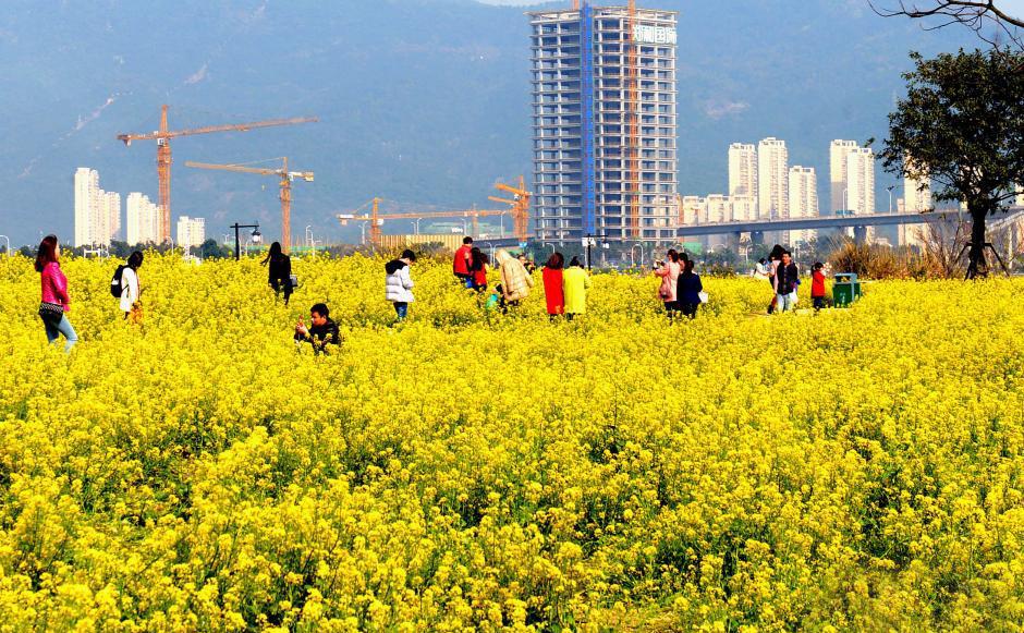 阳春三月 福州公园成金色花海