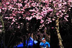 昆明樱花盛放 市民踏春赏花
