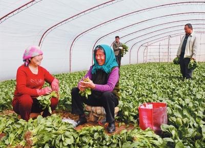 兰州皋兰菜农增收行情普遍看好(图)