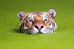 丹麦老虎冒被淹风险在绿藻池中畅游