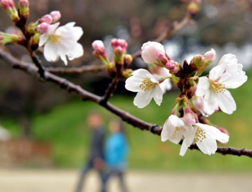 日本福冈等地樱花率先开放 淡雅景致惹人醉(图)
