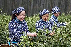 采茶女走进南京中山陵采摘雨花茶