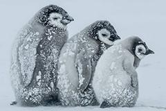 帝企鹅宝宝抱团取暖