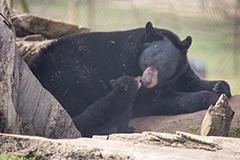美国黑熊时隔18年在英国动物园产三子