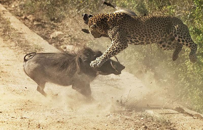 南非疣猪妈妈勇斗花豹保护幼崽(高清组图)