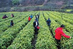 陇南康县5.9万亩茶叶开始采摘(图)