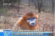 甘肃陇南:野外相机拍下金丝猴活动影像