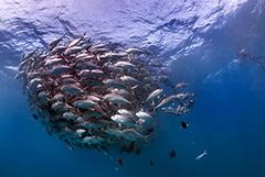 """探险家抓拍海底""""鱼群龙卷风""""场面壮观"""