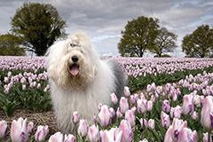 牧羊犬唯美照 萌态可掬受欢迎