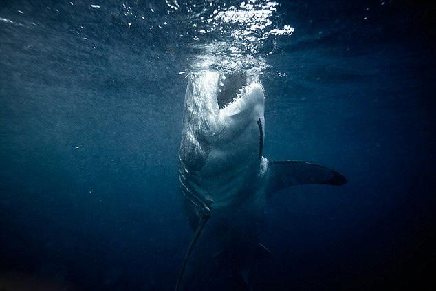 澳摄影师抓拍大白鲨 画面精彩令人震撼(组图)