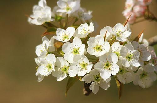 河西走廊千亩梨花盛开