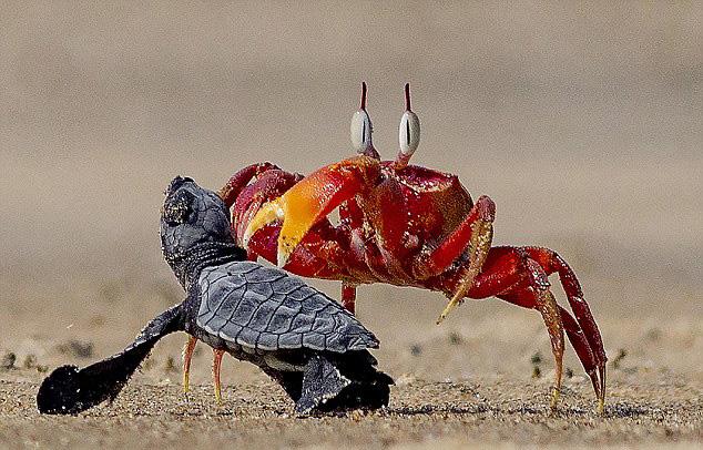 """印度沙蟹欺负小海龟演绎现实版""""蟹老板""""(组图)"""