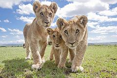 东非狮子玩自拍 集体卖萌