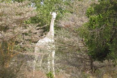 肯尼亚现罕见纯白长颈鹿(图)