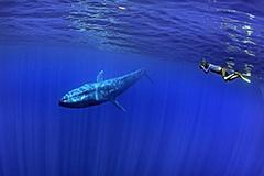 摄影师潜水偶遇蓝鲸