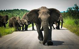 象群突袭观光车 游客死里逃生
