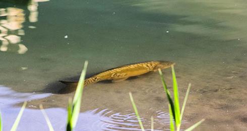 月牙泉 铁背鱼
