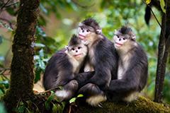 镜头下的金丝猴世界温暖和谐