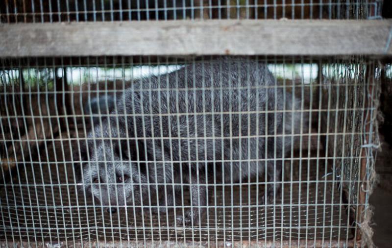 俄动物农场揭露奢华皮草背后的残忍真相(组图)