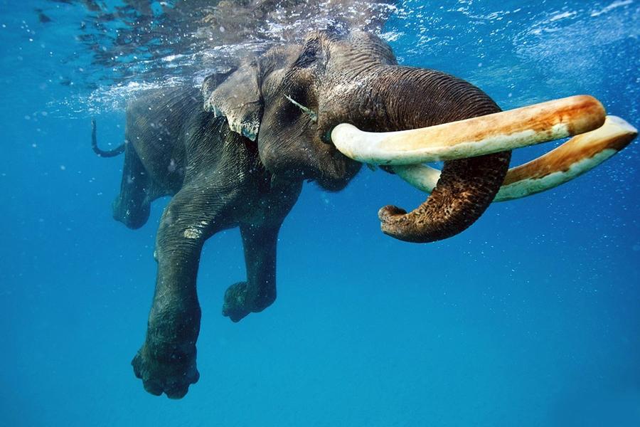 摄影师水下拍摄印度象下海游泳照(图)