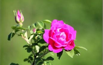 兰州特产—苦水玫瑰