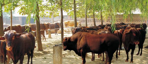 平凉特产——红牛