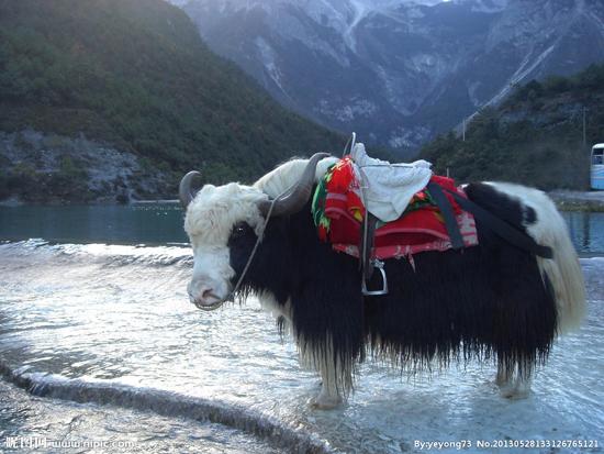 张掖特产——肃南牦牛