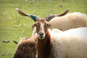 甘南特产——夏河甘加羊
