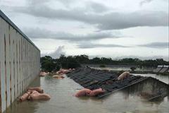 安徽怀宁县1万多头猪被洪水围困 爬上屋顶求生