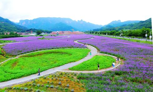 浙江仙居200亩马鞭草进入盛花期 紫色花海美景如画