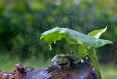 聪明!两青蛙拿树叶当雨伞避雨