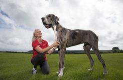 英大丹犬或成世界最高狗狗