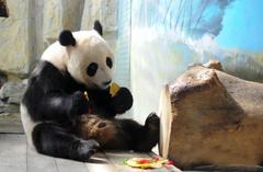 济南动物园大熊猫喜过6岁生日