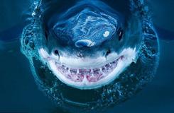 近拍鲨鱼罕见照