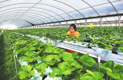 庆阳宁县设施特色果蔬采摘园5500亩