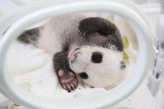 """上海大熊猫基地首只大熊猫宝宝""""满月"""""""